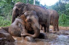 Kanchanaburi - Nature Elephant Park - Elephant