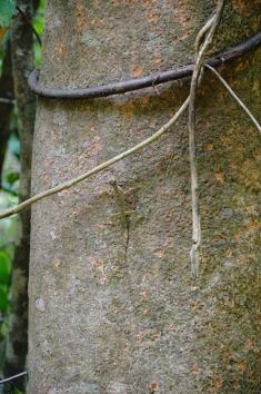 Khao Sok National Park: Cameleon