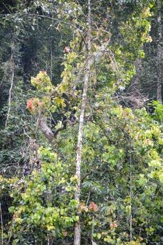 Khao Sok National Park: dusky leaf monkey - with white eyeglasses