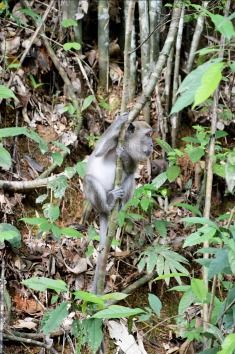 Khao Sok National Park: long tailed macaque