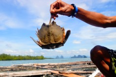 Phang Nga Bay - Horseshoe crab