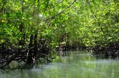 Phang Nga Bay - Mangrove forest