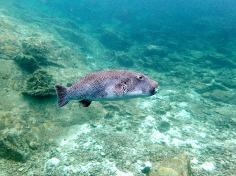 Scuba diving - Racha Noi and Racha Yai - Parrot fish