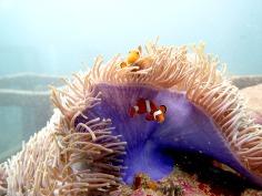 Scuba diving - Racha Noi and Racha Yai - Ocellaris clownfish